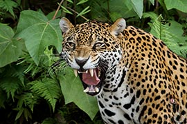Jaguar im Madidi-Nationalpark